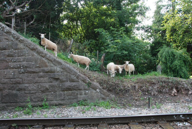 2013 - Sheep on the line at Williton Bridge on 28 August. This work is licenced under a Creative Commons Licence. © Bev Zehetmeier.
