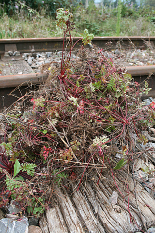 2020.09.22. A typical pile of weeds dug out from just one space between sleepers. © Chris Hooper